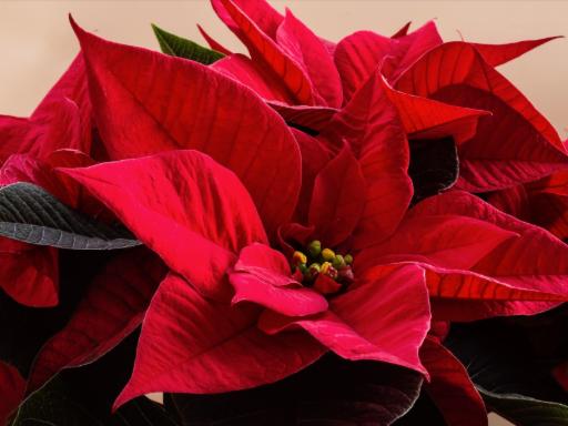 Poinsettia Sale for Haiti